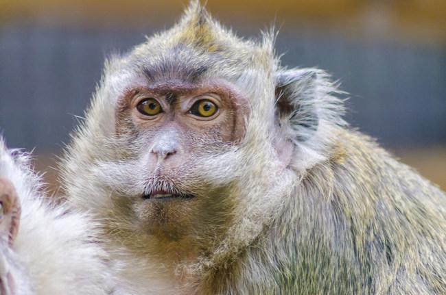 Cynomolgus macaques at AGI primate colony receive excellent care