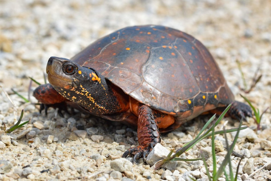 Spotted turtle © Ryan Wolfe (CNW Group/Ontario Nature)