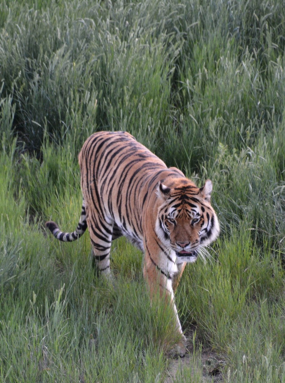 Rescued Tiger in large-acreage habitat.