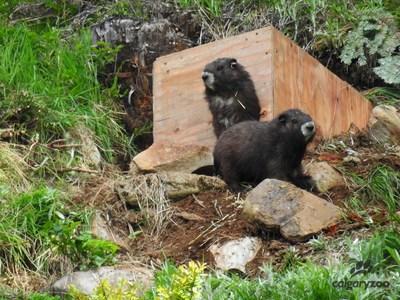 Calgary Zoo - Vancouver Island Marmot Release Conservation (CNW Group/Calgary Zoo)