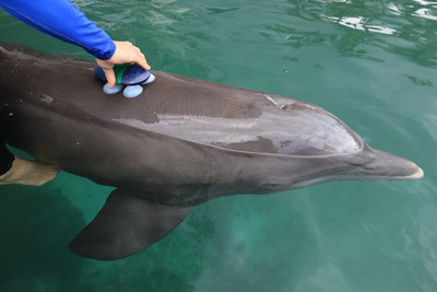 Dolphin Quest dolphin stops to pick up his data logger. If the suction cups detach, the dolphin will often pick up the data logger and bring it back to the scientists.