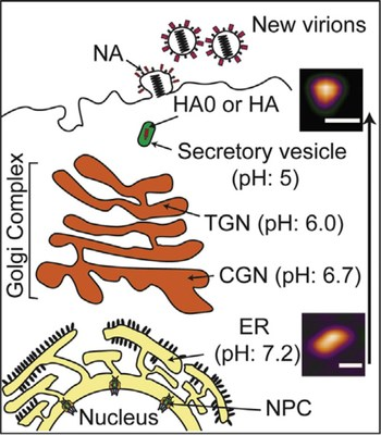 Low pH environment induces conformational change of HA0