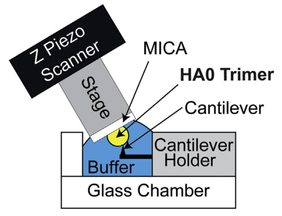 HS-AFM setup for direct visualization of HA0 trimer. Schematic diagram of the HS-AFM setup for scanning the HA0 trimer (PRNewsfoto/Kanazawa University)