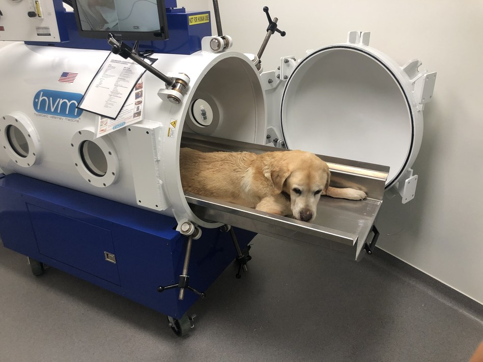 Patient getting ready for his first treatment in the veterinary hyperbaric chamber.