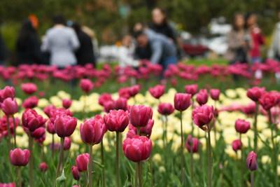 Le Festival canadien des tulipes attire de grandes foules. (Groupe CNW/Festival canadien des tulipes)