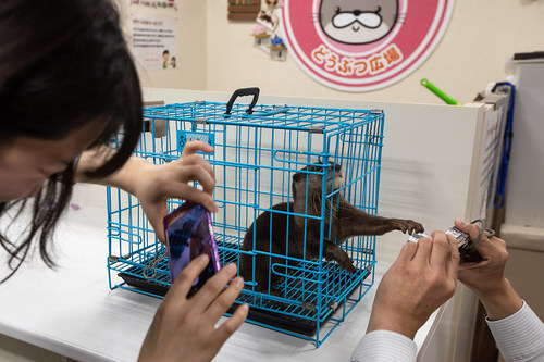 Otter cafes are becoming very common in Japan, where visitors can interact with pet otters for a fee. However, these environments are not suitable for otters. Tiny shallow pools, small enclosures and unnatural interaction with customers all day affects their physical and mental wellbeing. Pictured: An otter in captivity at a cafe in Tokyo, Japan Credit Line: World Animal Protection / Aaron Gekoski Date: 14/03/2019 (CNW Group/World Animal Protection)
