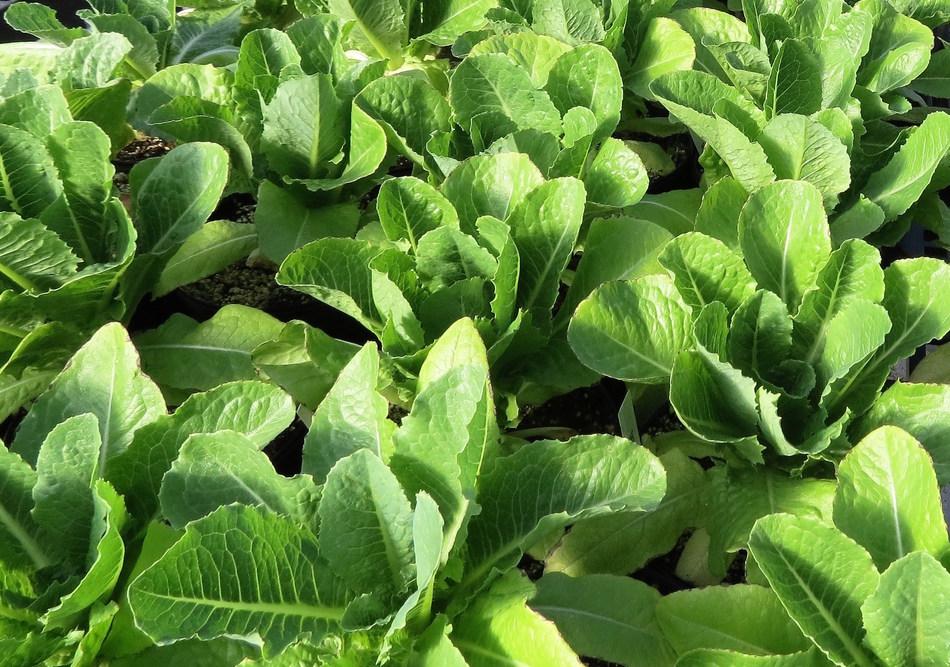 Intrexon GreenVenus Lettuce
