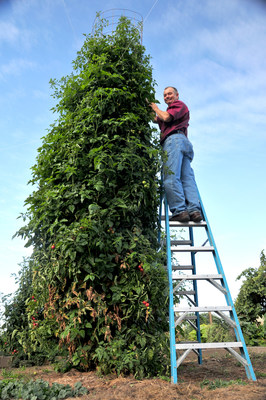 17ft Tomato Plant Produced Over 200 lbs of Fruit, No Pesticides Were Used, GMO Free, No Added Chemicals.