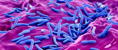 The Tuberculosis Bacteria