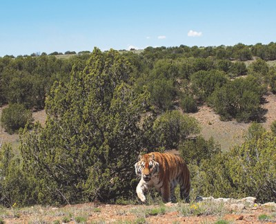 Rescued tiger explores his new 35-acre habitat at The Wild Animal Sanctuary's Refuge in southern Colorado.