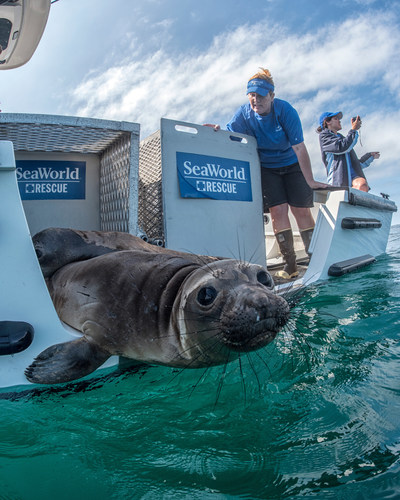 SeaWorld and its partners have rescued more than 35,000 animals over its 55-year history. Pictured here the SeaWorld San Diego Rescue Team returns ten California sea lions after weeks of rehabilitation at the park's Animal Health and Rescue Center.