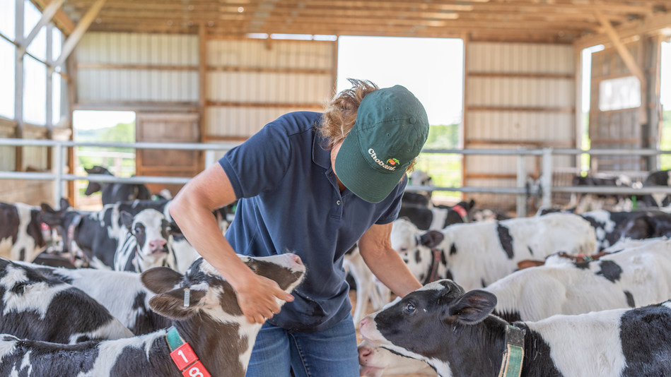 Chobani employee with calves from an Upstate New York dairy farm in Chobani's supply chain.