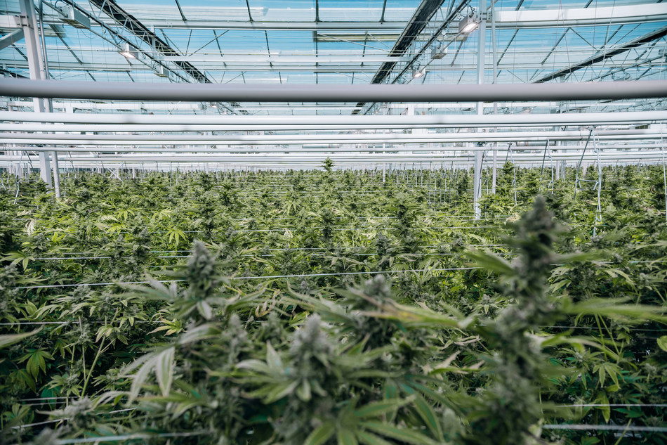 First Harvest complete at Flower One's 455,000 square-foot cannabis facility, greenhouse now fully canopied with 100,000-plant inventory (CNW Group/Flower One Holdings Inc.)