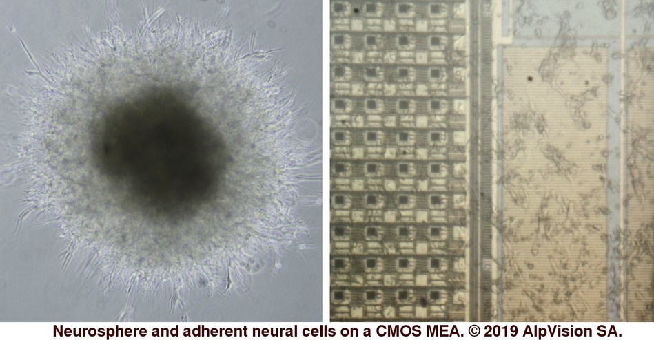 Neurosphere and adherent neural cells on a CMOS MEA.