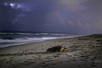 This summer, families can enjoy fun educational programs at various cultural destinations in The Palm Beaches, Florida -- like guided Sea Turtle Walks, film workshops and more. Photo courtesy of Gregg Lovett.