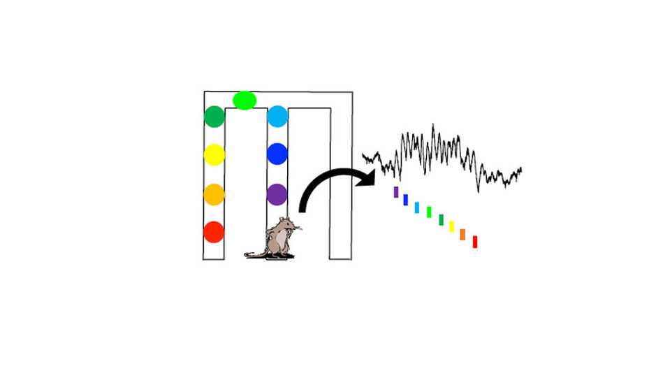 A new study tracked brain signals as rats arrived at each point in a maze, showing how the signals are arranged in sequences as part of memory.