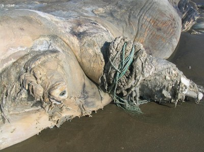 North Atlantic right whale (SC118) with constricting wraps of line around a pectoral flipper that caused a partial amputation. Image Credit: NOAA National Ocean Service Center for Coastal Environmental Health and Biomolecular Research Coastal Marine Mammal Strandings and Assessments Project; NMFS Permit No. 932-1905 (PRNewsfoto/International Fund for Animal W)