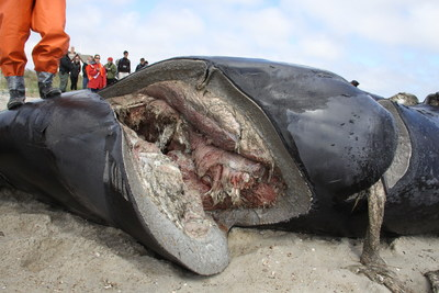 North Atlantic right whale (IFAW16-082Eg) with fatal chop wounds from collision with a vessel propeller that cut into the abdominal cavity and fractured multiple vertebrae. Image credit: International Fund for Animal Welfare; NMFS Permit No 18786. (PRNewsfoto/International Fund for Animal W)