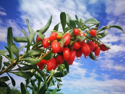 Zhongning's Goji Berry, World's Super Food