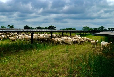 Holistically managed Cabriejo Ranch sheep on Silicon Ranch's Providence Solar Farm, the first Tennessee site to be transitioned to Regenerative Energy™. (Photo credit: Trent Hendricks, Cabriejo Ranch)