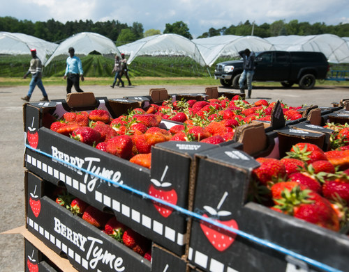 The biggest Ontario strawberry crop in recent history will be peaking just in time for July 1. The innovative practice of using raised troughs allows for strawberries to be grown under protected cover and at waist level for better quality and easier harvesting. Photo by Glen Lowson (CNW Group/Berry Growers of Ontario)