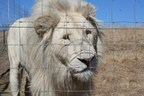 In demand - Traditional Asian Medicine products fueling booming big cat trade