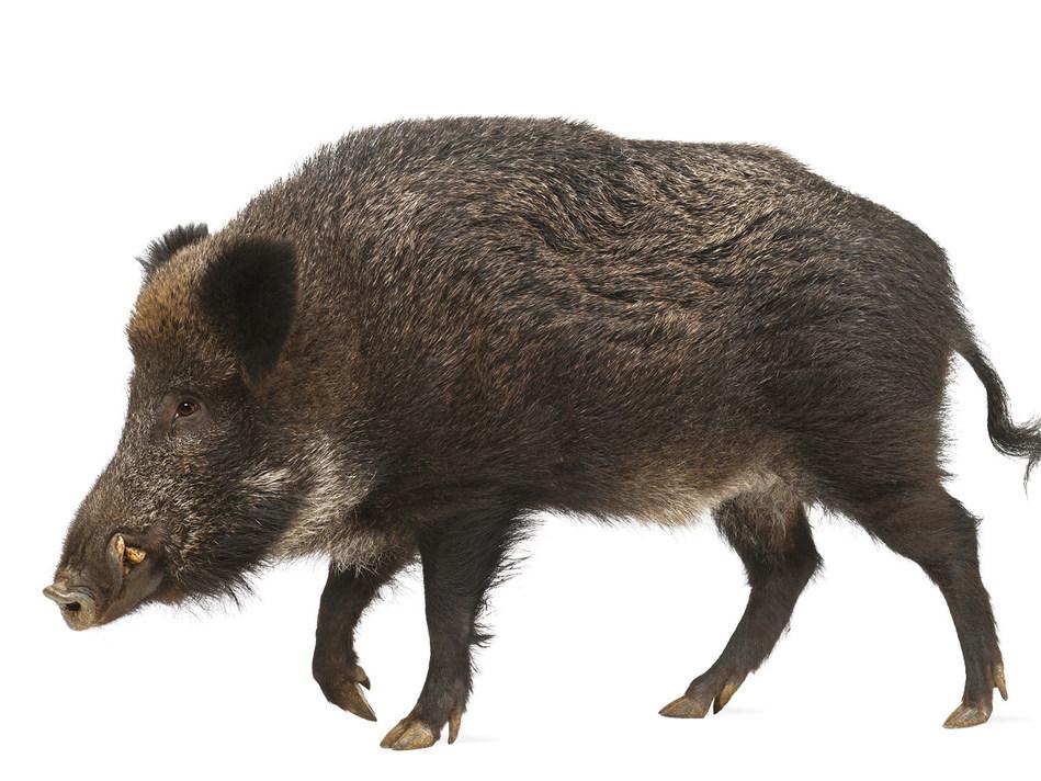 African Swine Fever only in wild boars in Belgium (PRNewsfoto/VLAM / Belgian Meat Office)