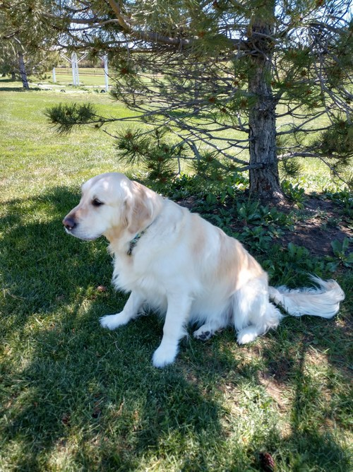 Dusty Bottoms, an overweight golden retriever from Colorado, is a participant in Morris Animal Foundation's Golden Retriever Lifetime Study. Dogs like him helped inform researchers that spaying or neutering large-breed dogs can put them at a higher risk for obesity.