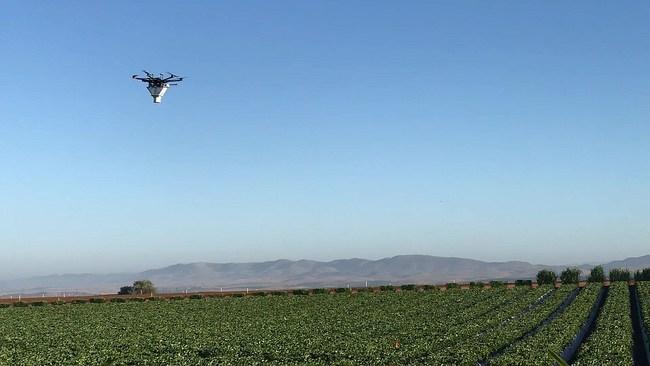 Drone releasing predatory mites on a strawberry field