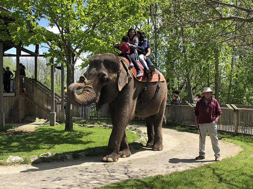 Animals in zoos are often forced to do unnatural and demeaning behaviour that contradict the World Association of Zoos and Aquariums (WAZA) animal welfare guidelines.  Pictured; An elephant giving rides at African Lion Safari, Canada. Credit Line: World Animal Protection Date: 02/07/2019 (CNW Group/World Animal Protection)