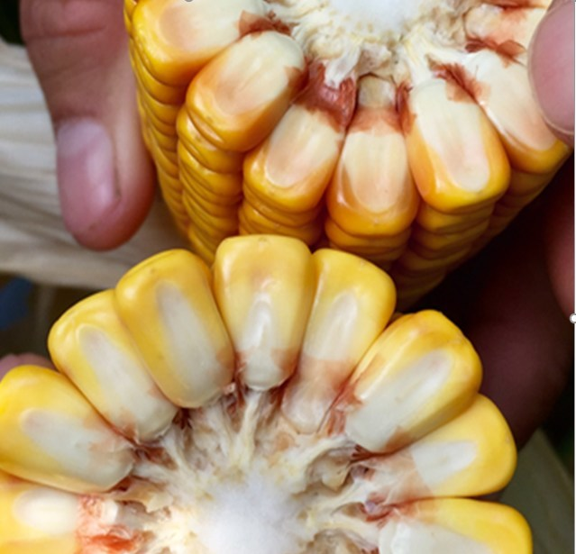 Brownseed's new E+® corn compared to standard #2 yellow.