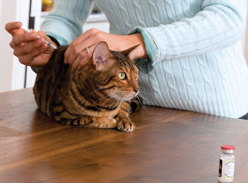 A diabetic cat receiving its insulin injection. (CNW Group/Canadian Animal Health Institute)