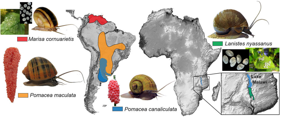 A figure showing the native range of the four apple snail species included in the study, and pictures of their adult and egg forms. The reddish-pink calcareous eggs of the two Pomacea species are deposited on land, whereas the white gelatinous eggs of Lanistes nyassanus and Marisa cornuarietis are deposited underwater.