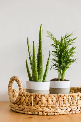 Aloe Vera Shelf Plant and Parlor Palm Shelf Plant