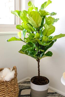 Fiddle Leaf Fig Floor Plant