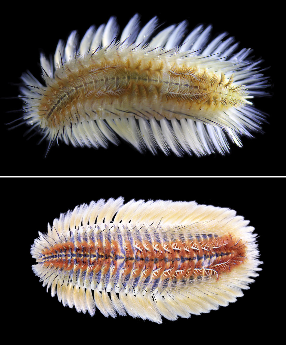Top: Chloeia bimaculata, the new fireworm species named by the HKBU team; bottom: Chloeia parva, the fireworm species behind the recent outbreaks in Hong Kong.