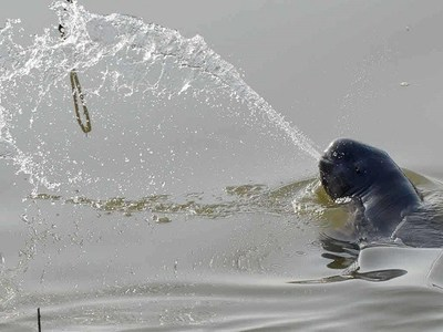 The Yangtze finless porpoise (YFP) is listed as critically endangered due to its exposure to man-made threats, such chemical and noise pollution (Photo credit Huigong Yu)