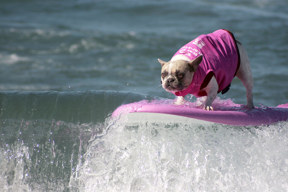 Surf Dog Pro Cherie - Helen Woodward Animal Center's 14th Annual Surf Dog Surf-A-Thon, sponsored by Blue Buffalo, September 8th, 2019.  (Photo credit: Helen Woodward Animal Center)