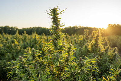 Hemp plant in sunset (Credit: Ed Rode) (PRNewsfoto/The Southern Hemp Marketplace L)