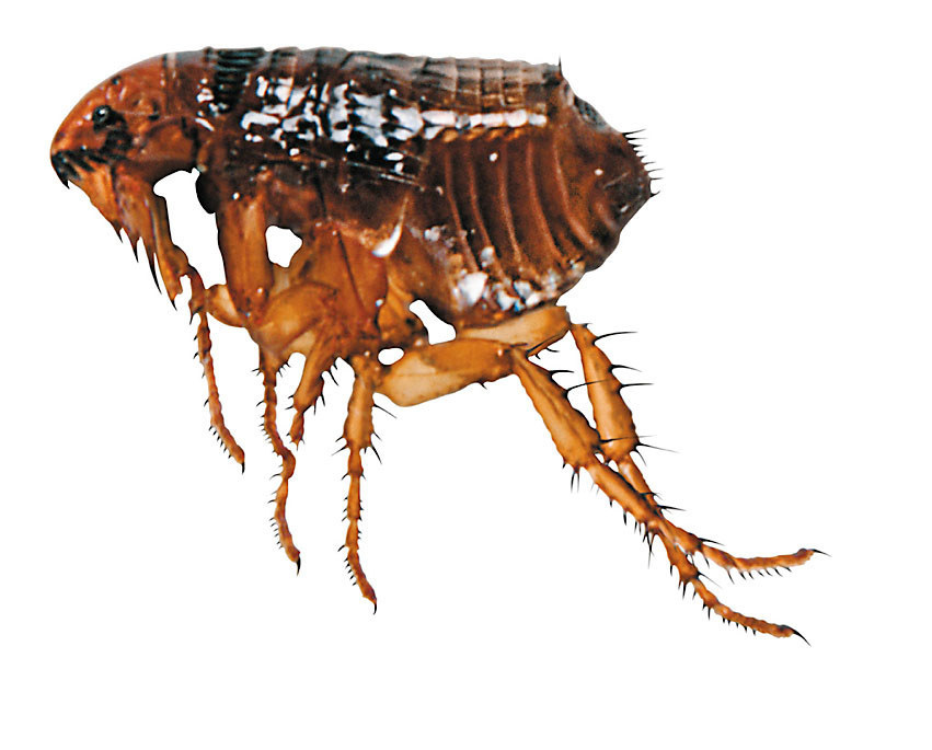 Know Your Flea Facts