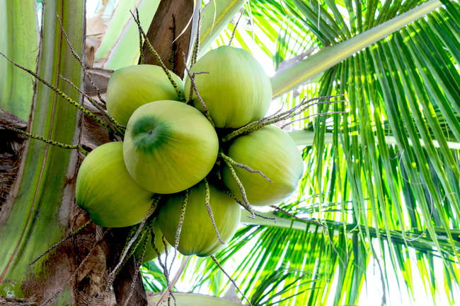 """The FDA misclassified coconut, which is causing confusion for a lot of people because it shouldn't be classified with tree nuts,"" said CCA Executive Director Len Monheit. ""Consumers with a tree nut allergy, but not a coconut allergy, are being deprived of this fruit. And, industry is being greatly impacted as contract manufacturers wanting to use coconut have to unnecessarily classify their facility as a tree nut facility when they're not."""