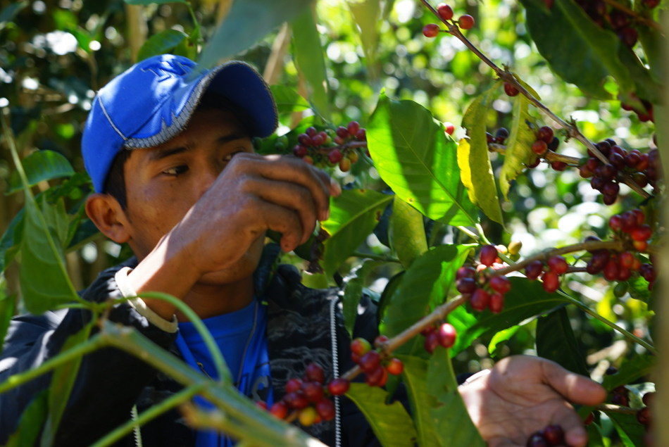 Ninety Plus Harvest Manager Benjamin Tugri, of the Ngäbe indigenous tribe of Panama, inspects Gesha coffee cherry ripeness.