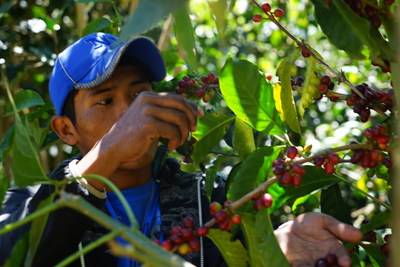 Benjamin Tugri, gerente de colheita da Ninety Plus, da tribo indígena Ngäbe do Panamá, inspeciona a maturação dos grãos de café Gesha.