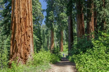 Alder Creek contains hundreds of ancient giant sequoia, nearly 500 wider than six feet in diameter. Photo by Max Forster, Save the Redwoods League