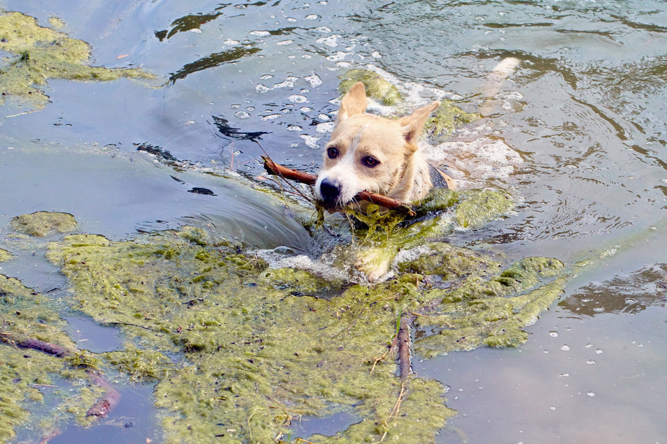 Keep your dogs safe from Blue-Green Algae infected ponds, lakes and streams with 5Strands Blue-Green Algae Test for Dogs!